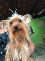 Yorkshire Terrier Micro (Macho)