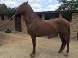 Cavalo Mangalarga Peruano Da Aldeia
