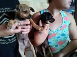 Doce filhotes de cachorro porte pequeno