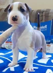 Bull Terrier Disponível c/ Pedigree
