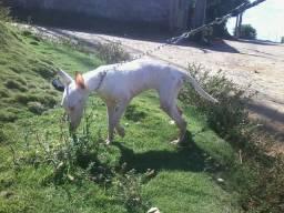 Bull terrier. ( FÊMEA )