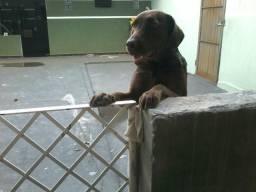 Labradora linda Adoção responsável