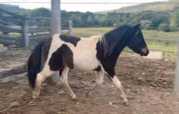 Mini ponei
