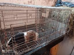 Vendo porquinhos da índia com gaiola