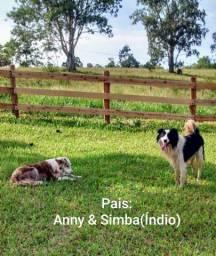 Filhotes de Border Collie com pedigree