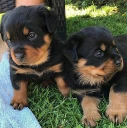 Título do anúncio: Incríveis filhotes de Rottweiler