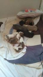 Vendo filhotes de América pitbull terrier