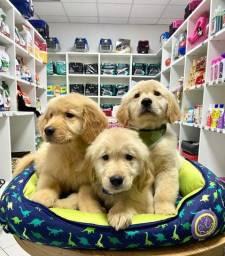 Título do anúncio: Lindos filhotes Golden!!