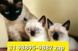 Título do anúncio: Gatil em BH Maravilhosos Filhotes de Gatos Siamês Persa ou Angora