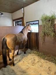 Título do anúncio: Cavalo crioulo Gateado