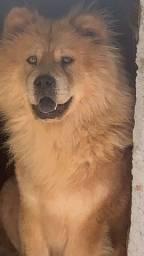 Título do anúncio: Doação cachorra fêmea chow chow pura Guarapari  adulta 3 anos