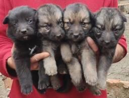 Título do anúncio: Filhotes de pastor alemão capa preta e preto disponível