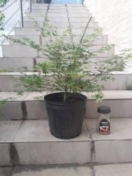 Título do anúncio: Pré bonsai de Acer