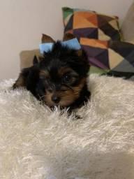Yorkshire Terrier Fêmea Venham nos Conhecer