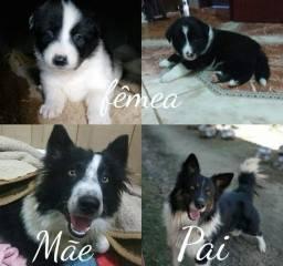 Cachorrinhas lindas de uma raça encantadora!!