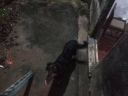 Doação (LEIA-ME) Rottweiler Mestiço