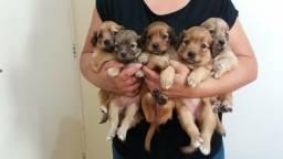 CUIDA!!! filhotes de poodle chocolate com maltês em promoção entrego