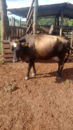 Vaca e bezerros