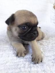 Vendo lindos filhotes de Pug!