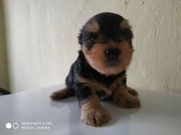 Cachorro (macho) Yorkshire Terrier