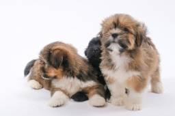Título do anúncio: Filhotes de lhasa apso (com pedigree)