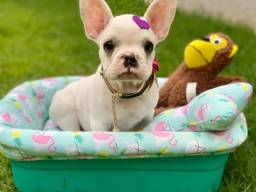 Fêmea Toda Branca Bulldog Francês Com pedigree