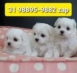 Título do anúncio: Canil Filhotes Cães Miniaturas BH Maltês Beagle Yorkshire Shihtzu Poodle Basset