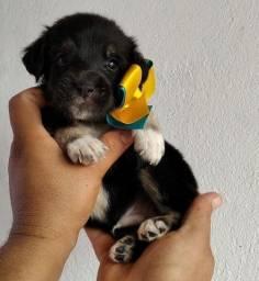 Título do anúncio: Lindo poodle com york
