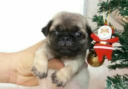 Pug PURO! Com Pedigree