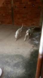 Cachorros de caça