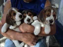 Beagle para ser entregue no natal