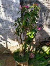 Flor do deserto florindo 80,00