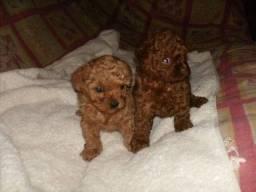 Título do anúncio: Poodle 0 e toy excelente padrão pedigree até 12x