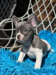 Título do anúncio: Bulldog francês Blue