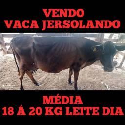 Título do anúncio: Vaca JERSOLANDO