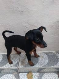 Título do anúncio: Cachorrinha de pinscher filhote número 01