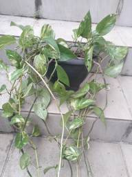 Título do anúncio: Vaso de planta jibóia. Vaso de parede.