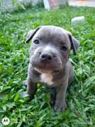 Título do anúncio: Venda cachorro American Bully disponíveis