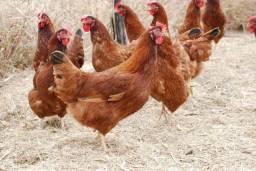 Pintinhos de Poedeira Embrapa 051 - Mais de 300 ovos/ano