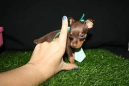 Promoção maravilhosos filhotes de pinscher miniatura f/m...leia