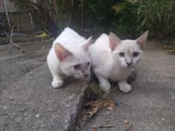 Doa-se 2 Gatinhos de olhos azuis 1 macho e 1 fêmea