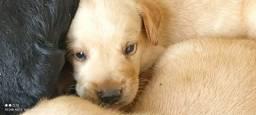 Título do anúncio: Vendo filhotes de Labrador