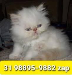 Título do anúncio: Gatil em BH Filhotes Lindos de Gatos Persa Siamês ou Angora