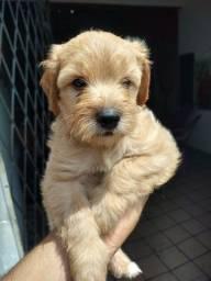 Título do anúncio: Casal de poodles pequeno porte