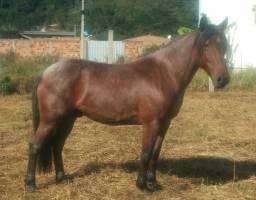 Cavalo rosilho crioulo