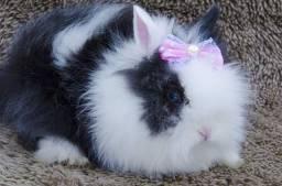 Mini coelho da raça Teddy Dwerg