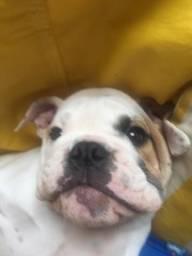 Bulldog Inglês Legítimo
