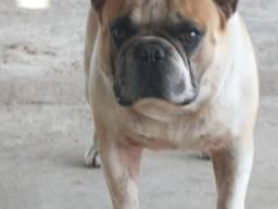 Bulldog Francês bluefawpied