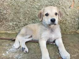 Labrador fêmea doa-se