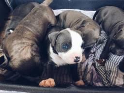 Vendo lindos filhotes Staffordshire Terrier